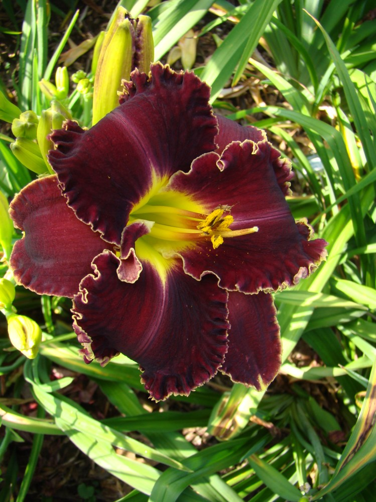 oak hill daylilies victorian garden star bright